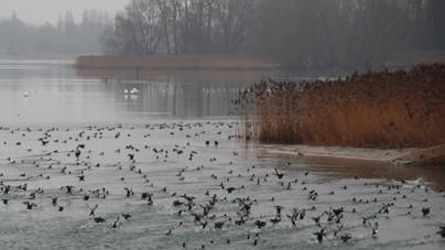 Wintergäste auf dem Rhein (Foto: Roeland Kerst)