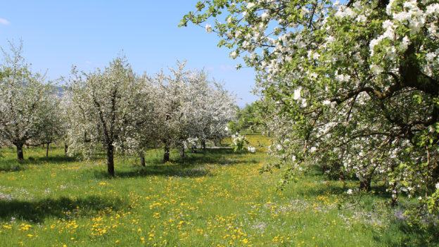 Blühender Obstgarten (Foto: umweltberatung-luzern.ch)