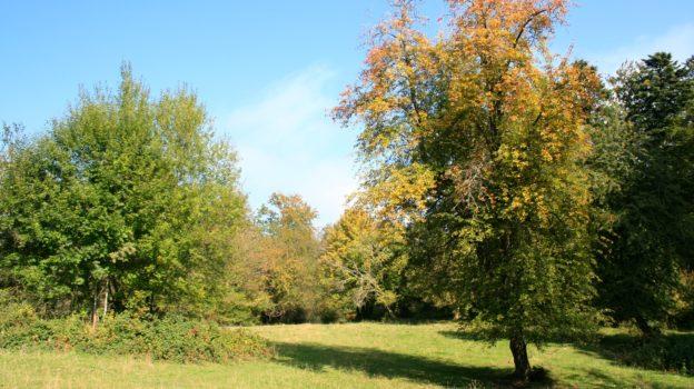 """Wildbirne auf """"La Joux"""" (Foto: bdn.ch)"""